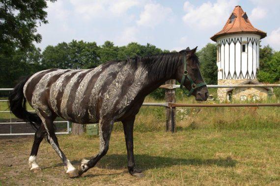 Zebrastreifenpferd auf einem Hof in Niedersachsen Foto von NTV dpa (c)